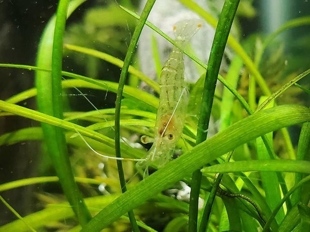 Hiding Place for Ghost Shrimps