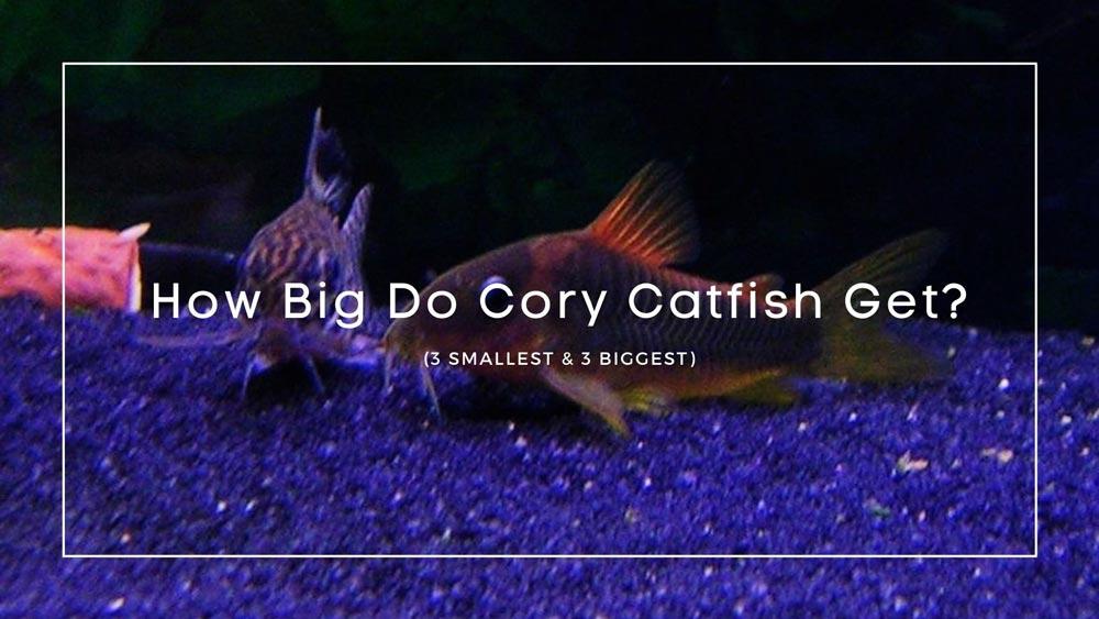 How Big Do Cory Catfish Get