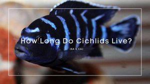 how long do cichlids live