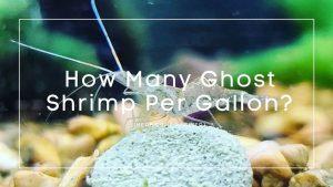 How Many Ghost Shrimp Per Gallon