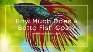 How Much Does a Betta Fish Cost