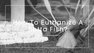 How To Euthanize A Betta Fish
