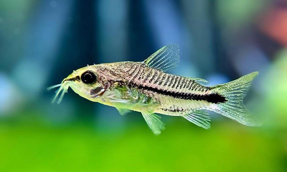 Pygmy Cory Catfish