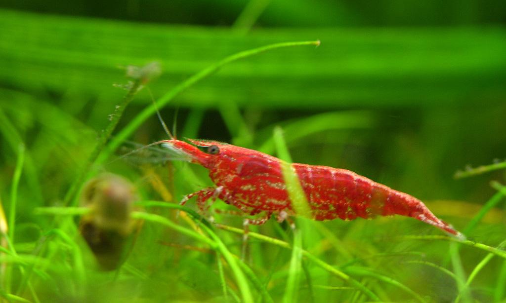 Setting Up A Freshwater Shrimp Tank