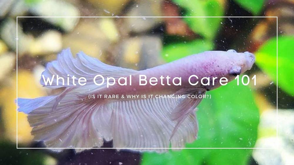 White Opal Betta