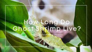 how long do ghost shrimp live