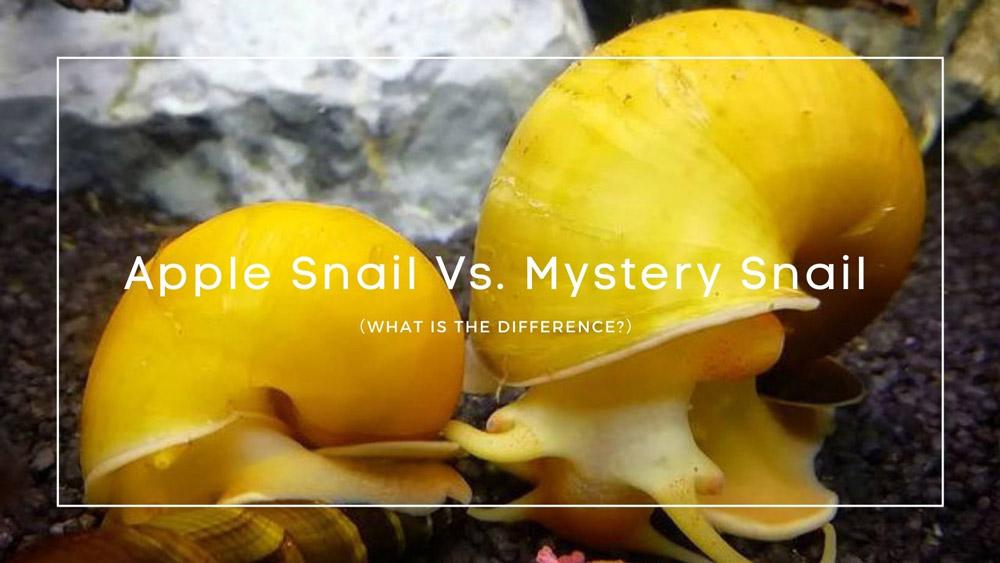 Apple Snail Vs. Mystery Snail