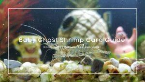 Baby Ghost Shrimp
