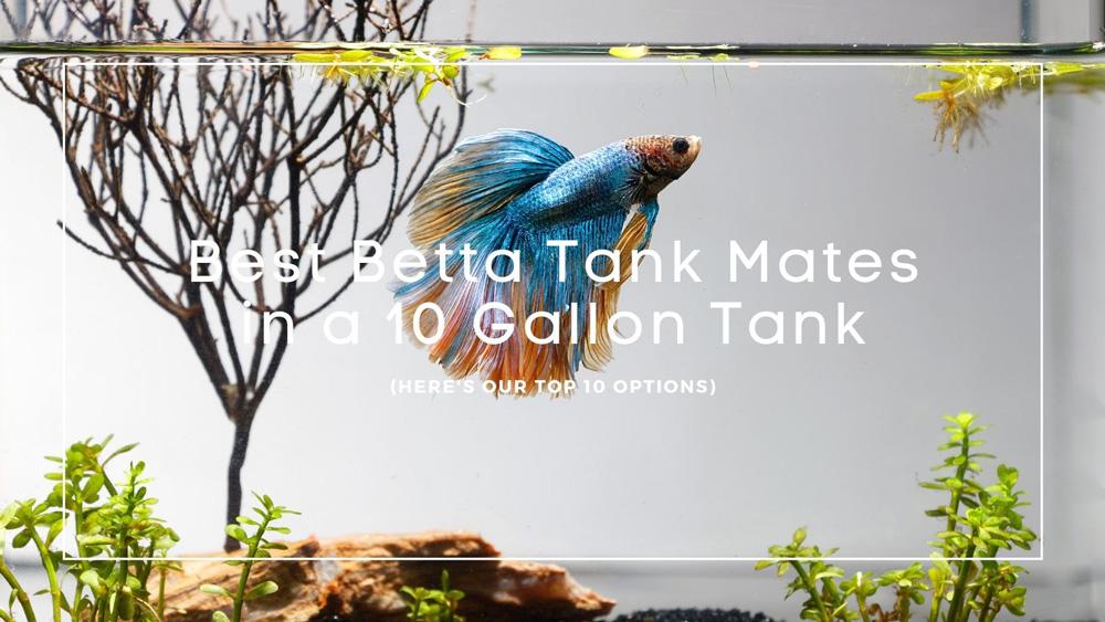 betta tank mates 10 gallon