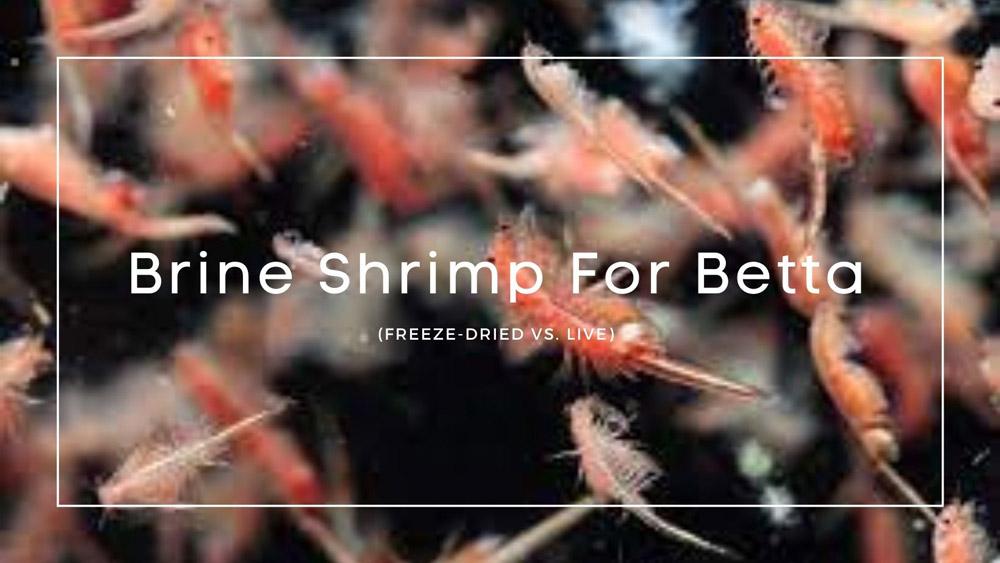 Brine Shrimp For Betta