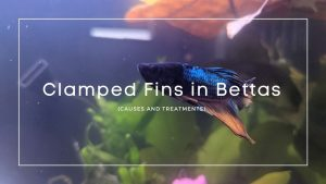 Clamped Fins in Bettas