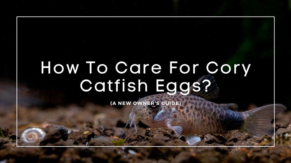 Cory-Catfish-Eggs