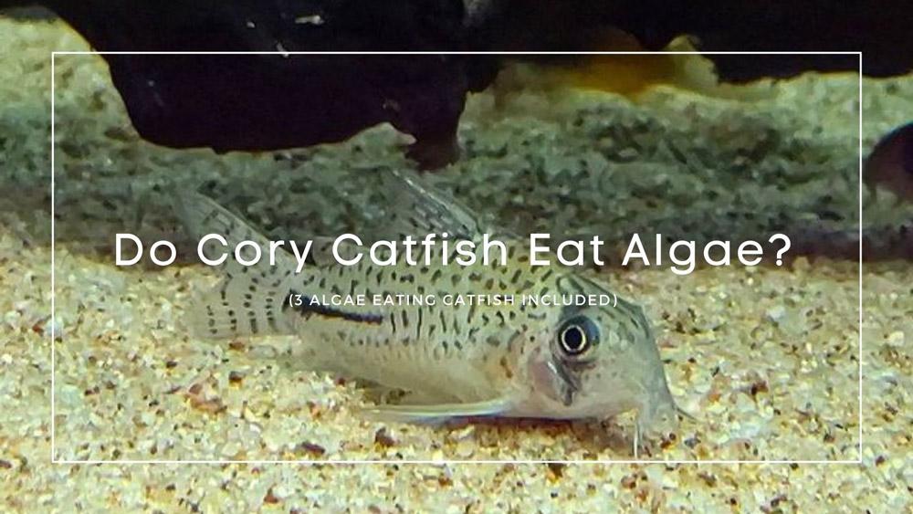Do Cory Catfish Eat Algae