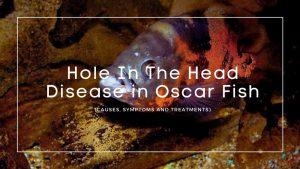 Hole In The Head Disease in Oscar Fish