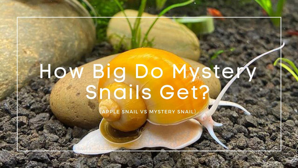 How Big Do Mystery Snails Get