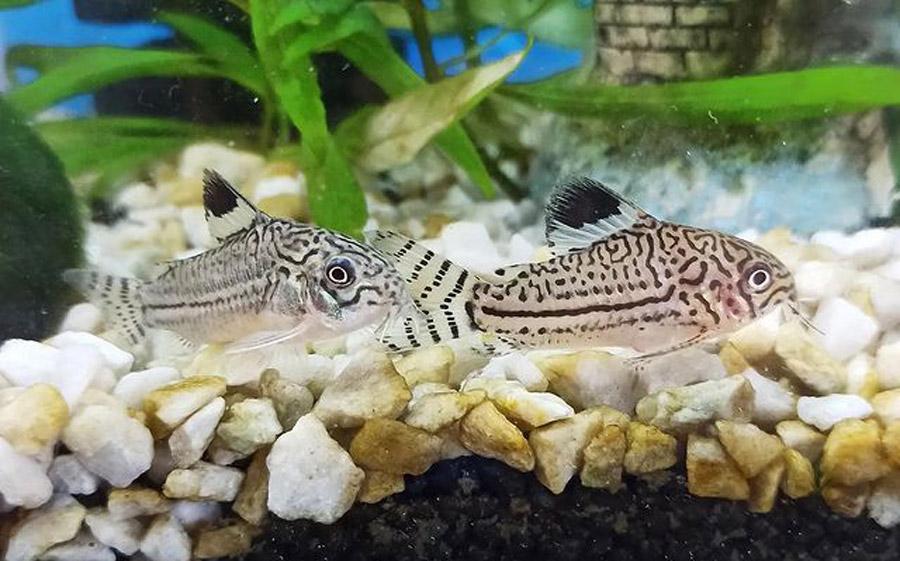 How Long Do Cory Catfish Live In Captivity