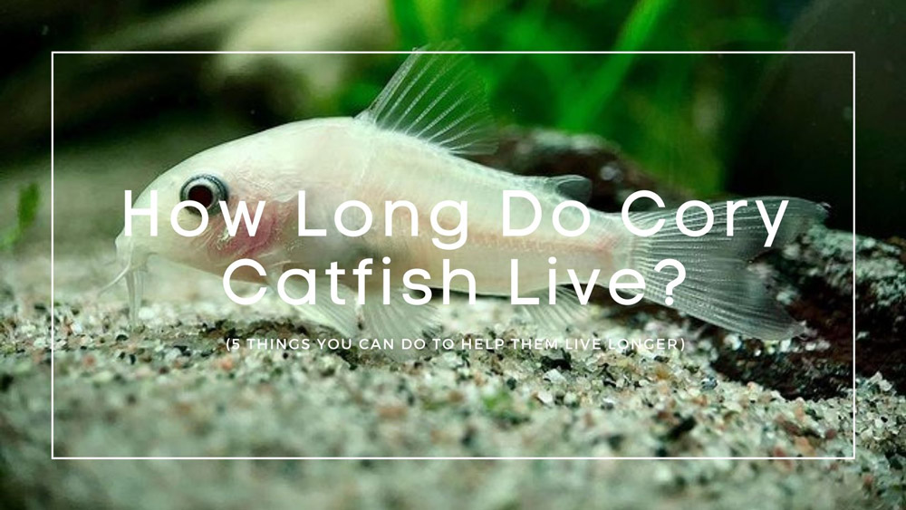 How Long Do Cory Catfish Live