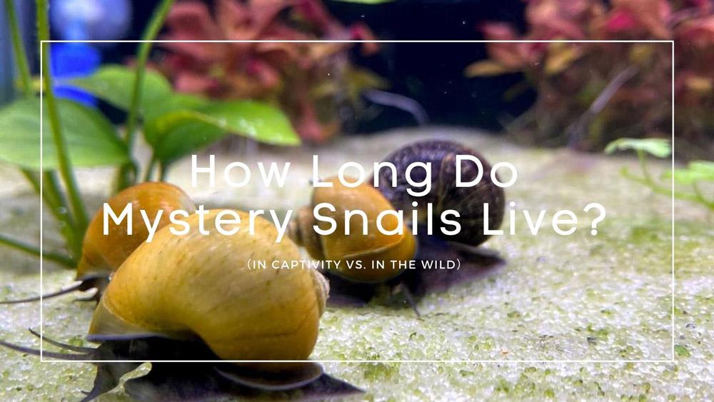 How Long Do Mystery Snails Live