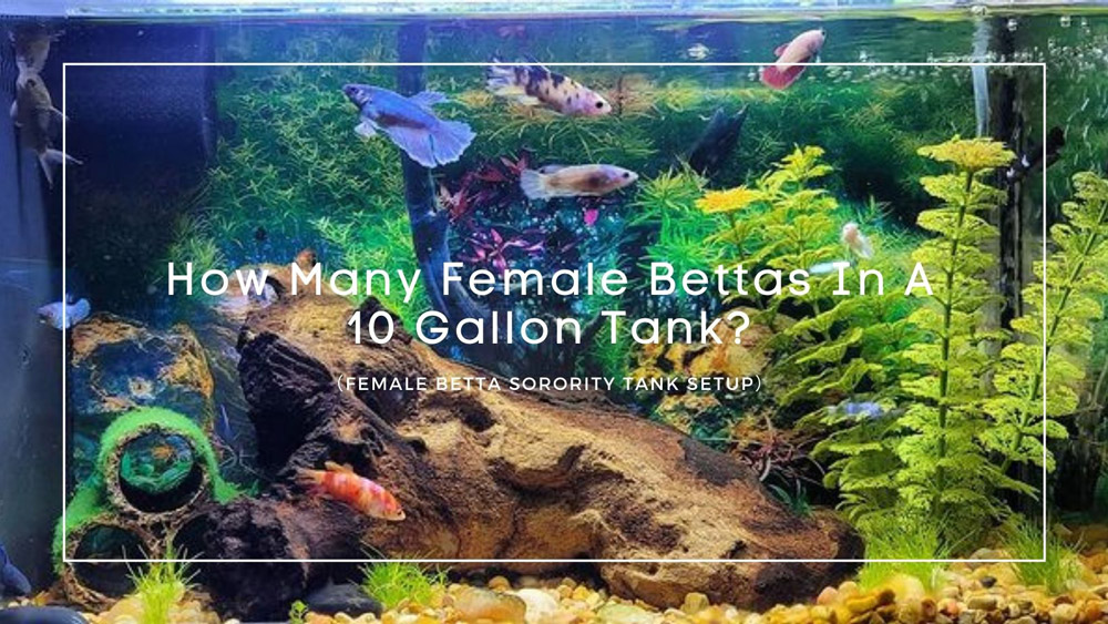 How Many Female Bettas In A 10 Gallon Tank