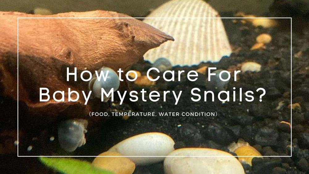 How to Care For Baby Mystery Snails
