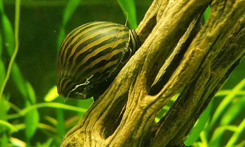 Nerite Snails and bettas