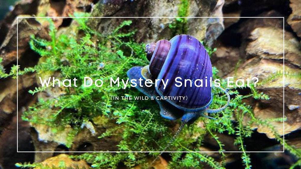 What Do Mystery Snails Eat
