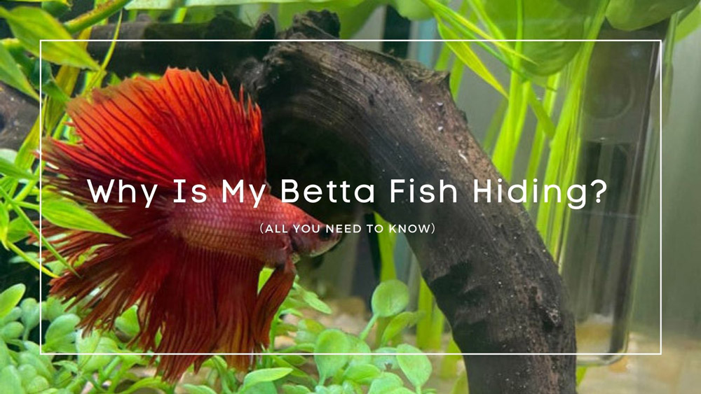 Why Is My Betta Fish Hiding