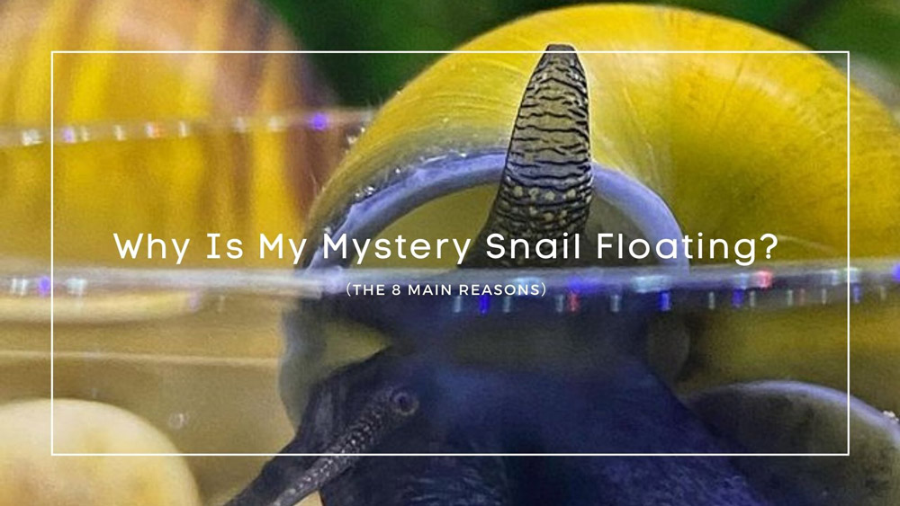 Why Is My Mystery Snail Floating