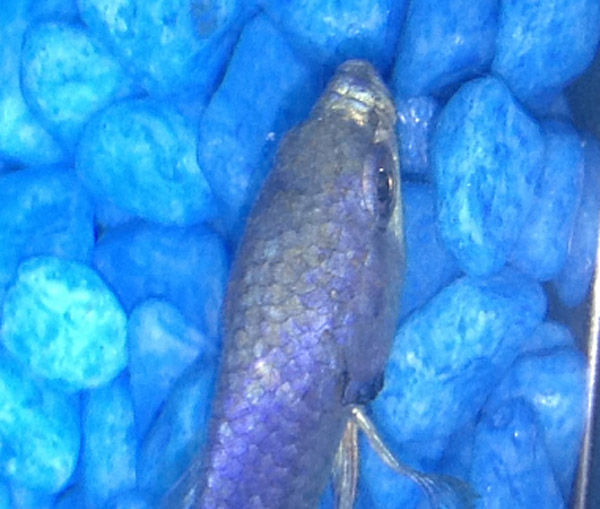 Velvet Betta Fish has a Gold Rust Look