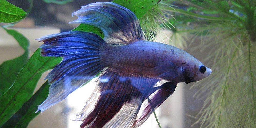 Fin-Rot-In-Bettas-Fish